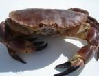 Photo Crabe (400/600 gr) - LE CARRE SAINT MICHEL